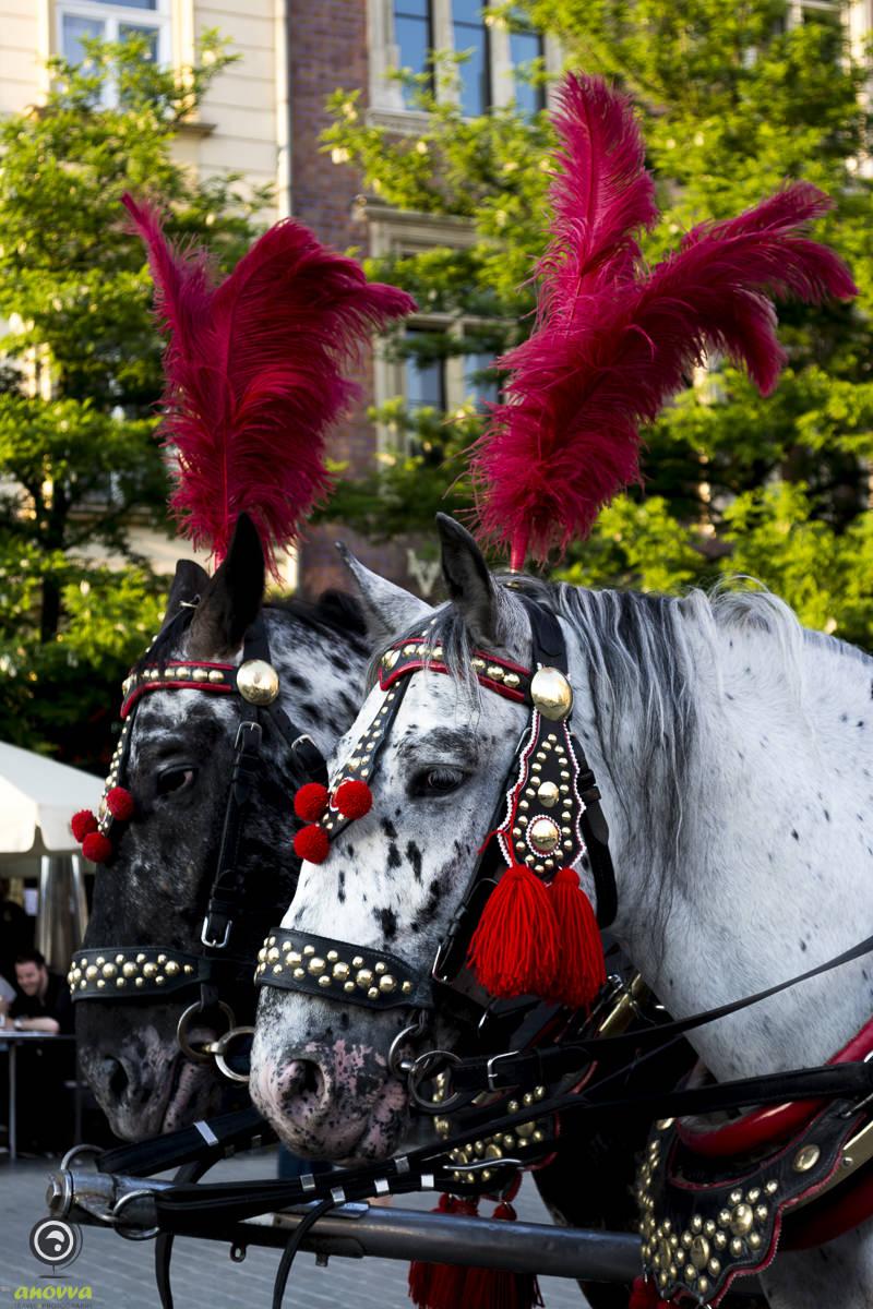 A konie bojowe czekają gotowe do bitwy